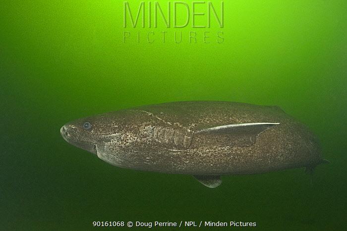 Greenland sleeper shark (Somniosus microcephalus)  -  Doug Perrine/ npl
