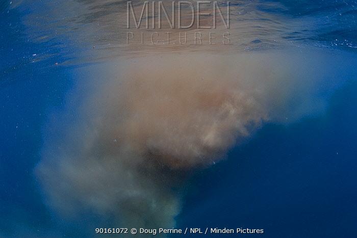 Fecal cloud left behind after Blue whale  -  Doug Perrine/ npl