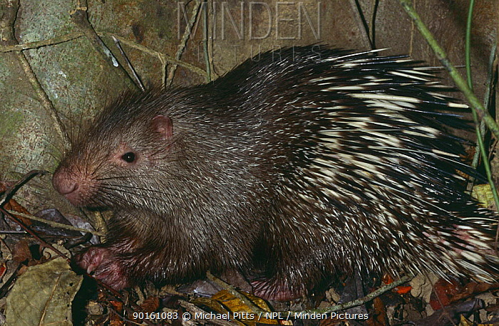 Common short tailed porcupine (Hystrix brachyura) foraging in litter, Flores, Indonesia  -  Michael Pitts/ npl