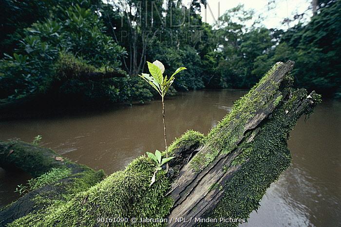 Seedling growing oon tree stump in open canopy over Mambili River, Odzala NP, Republic of Congo  -  Jabruson/ npl