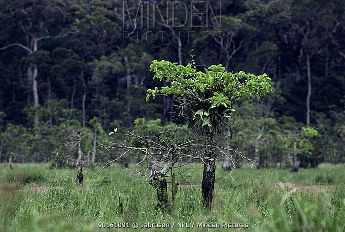 Epiphytic fern on host tree (Platycerium stemania) Odiba Bai clearing in rainforest, Odzala NP, Republic of Congo  -  Jabruson/ npl