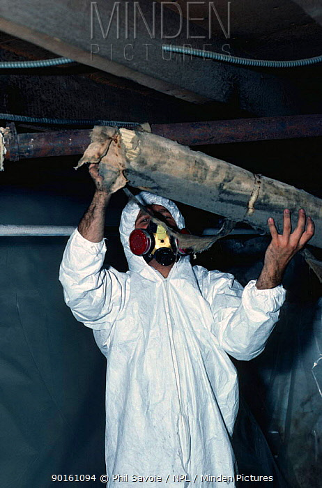 Removal of old Asbestos pipe insulation Danger of release of carcinogenic fibres  -  Phil Savoie/ npl