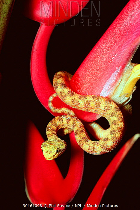 Eyelash viper (Bothrops schlegeli) on (Heliconia trichocarpa) Costa Rica  -  Phil Savoie/ npl