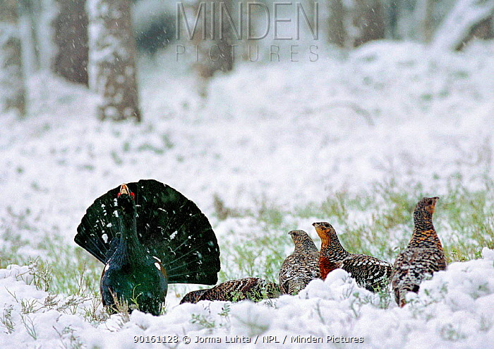 Male Capercaillie displaying to watching females (Tetrao urogallus) Finland  -  Jorma Luhta/ npl