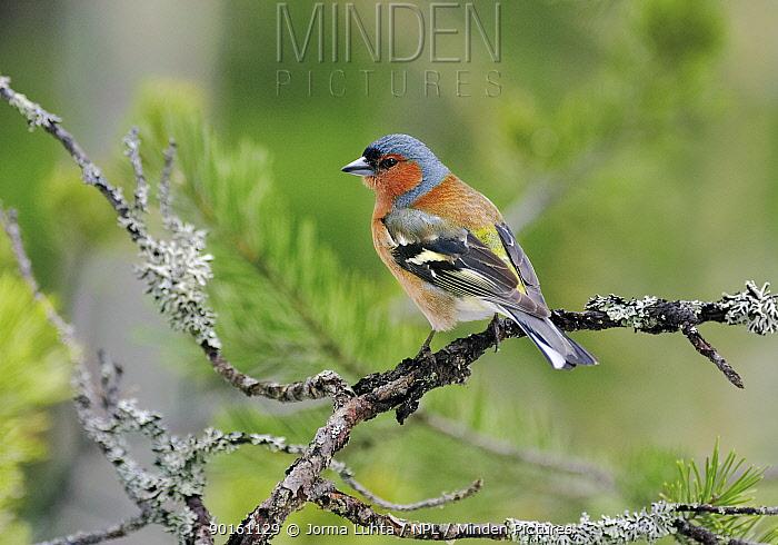 Male Chaffinch (Fringilla coelebs) Finland  -  Jorma Luhta/ npl
