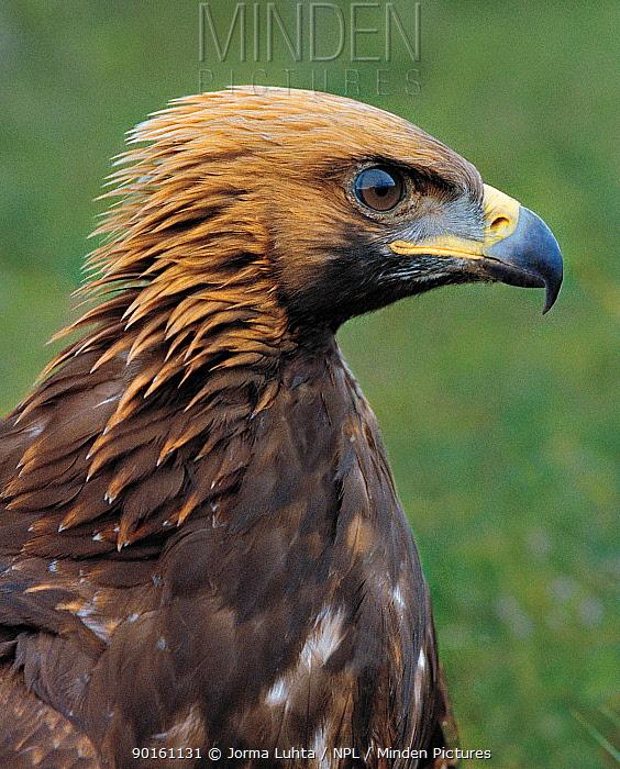 Golden eagle portrait (Aquila chrysaetos) Finland  -  Jorma Luhta/ npl