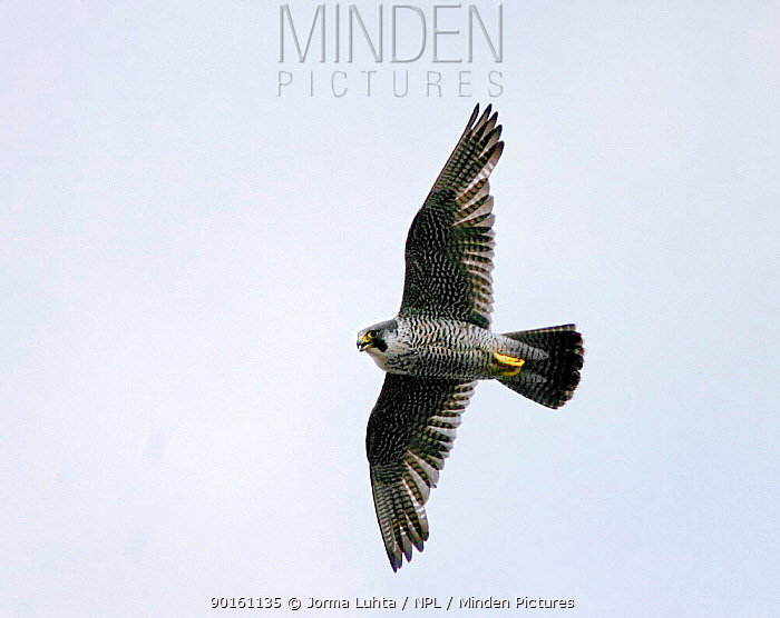 Peregrine falcon in flight (Falco peregrinus) Finland  -  Jorma Luhta/ npl