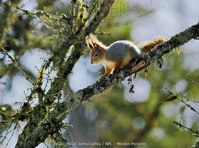 Red squirrel in tree (Sciurus vulgaris) Finland  -  Jorma Luhta/ npl