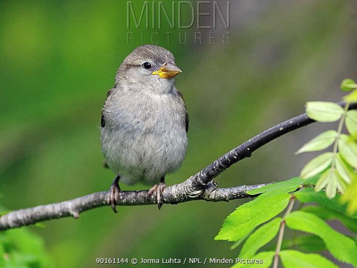 Juvenile Common sparrow (Passer domesticus) Finland  -  Jorma Luhta/ npl