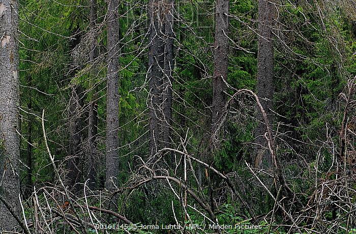 Spruce Taiga forest, northern Finland  -  Jorma Luhta/ npl