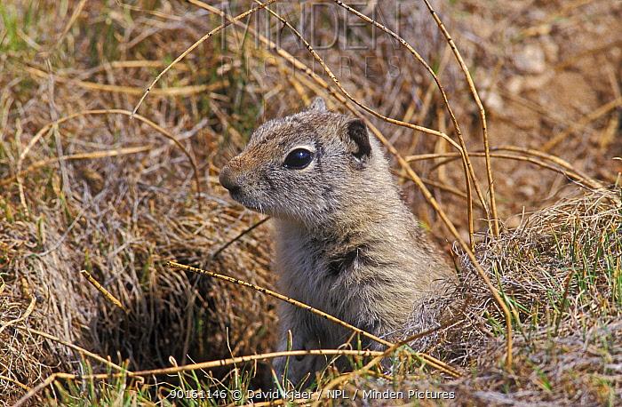 Belding's ground squirrel (Spermophilus, Citellus beldingi) Yosemite NP, CA, USA  -  David Kjaer/ npl