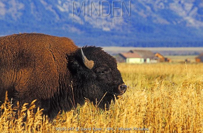 Bison (Bison bison) Grand Teton National Park, Wyoming, USA  -  David Kjaer/ npl