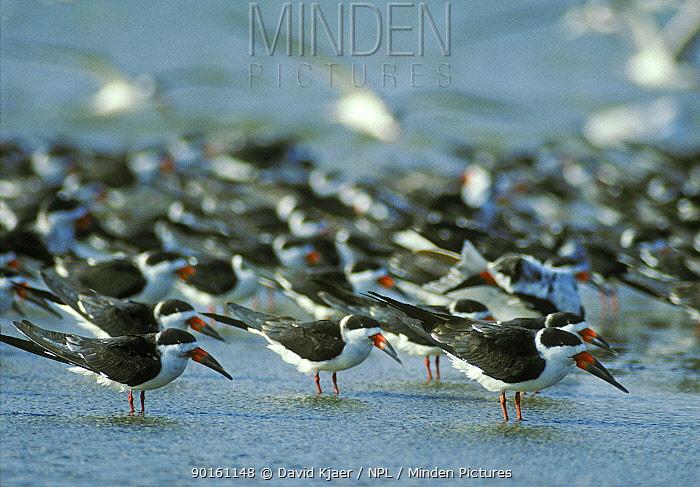 Black skimmers (Rynchops nigra) Texas, USA  -  David Kjaer/ npl