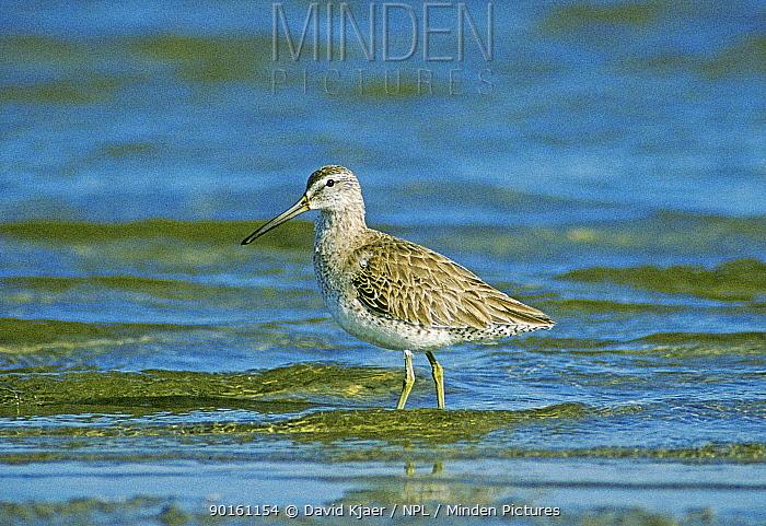 Short billed dowitcher (Limnodromus griseus) Texas, USA  -  David Kjaer/ npl