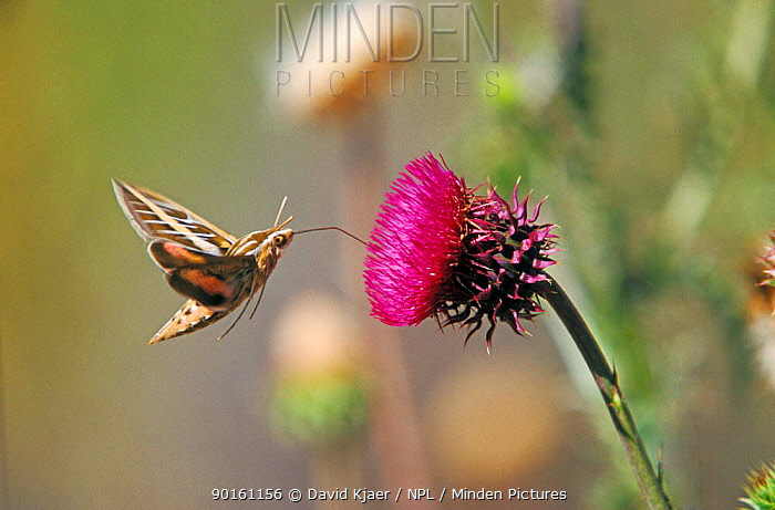 Striped hawkmoth feeding from flower (Hyles lineata) Wyoming, USA  -  David Kjaer/ npl