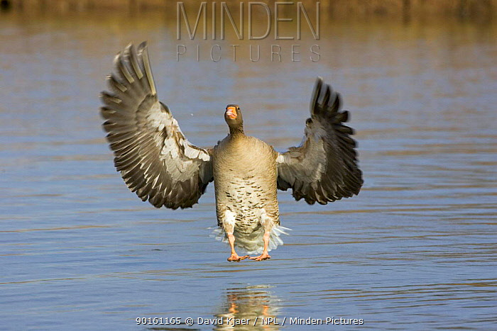 Greylag goose landing on water (Anser anser) Gloucestershire, England  -  David Kjaer/ npl