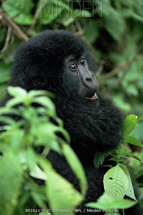 Baby Mountain gorilla (Gorilla gorilla beringei) Virunga NP, Republic of Congo, Endangered species  -  Jabruson/ npl