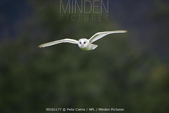 Barn Owl (Tyto alba) in flight, Cairngorms National Park, Scotland  -  Pete Cairns/ npl