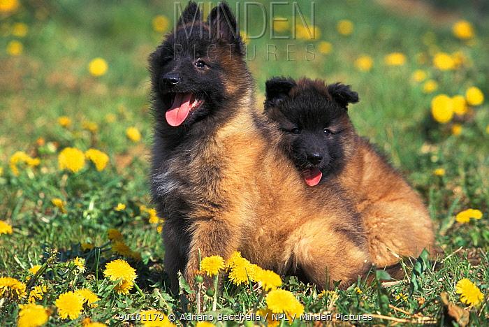 Domestic dog, Belgian Shepherd Dog, Malinois puppies sitting among dandelions  -  Adriano Bacchella/ npl