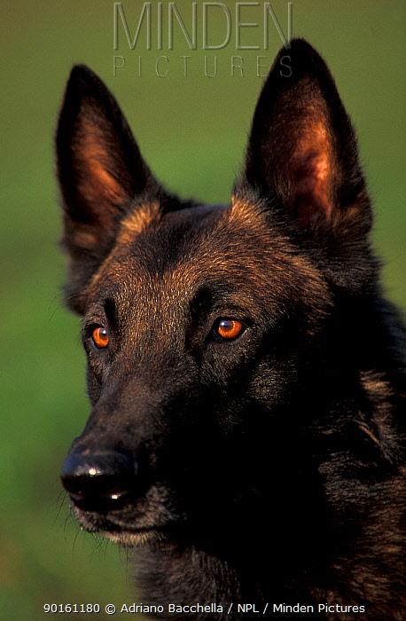 Domestic dog, Belgian Shepherd Dog, Malinois portrait  -  Adriano Bacchella/ npl