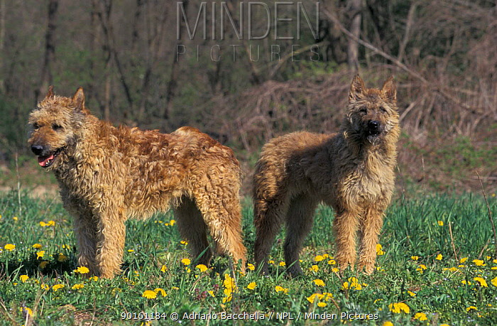 Domestic dogs, Belgian Shepherd Dogs, Laekenois standing on grass  -  Adriano Bacchella/ npl
