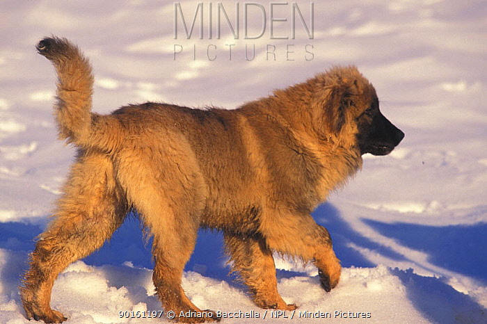 Domestic dog, Estrela Mountain Dog juvenile walking in snow  -  Adriano Bacchella/ npl