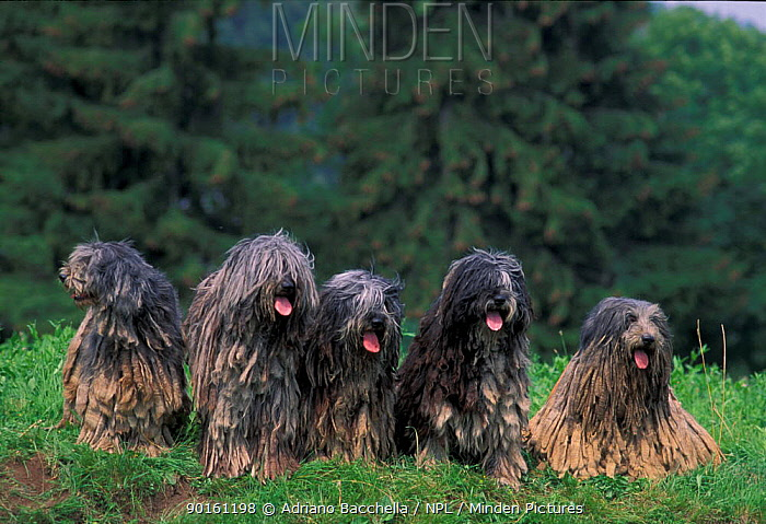 Domestic dogs, Bergamasco family sitting on grass  -  Adriano Bacchella/ npl