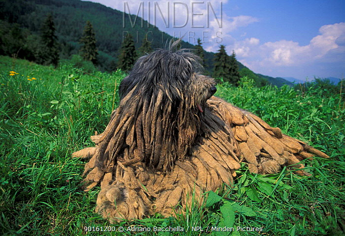 Domestic dog, Bergamasco looking to one side, 'flocks' clearly visible  -  Adriano Bacchella/ npl