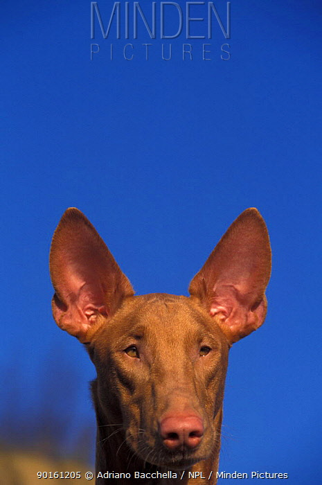 Domestic dog, Pharoah Hound face portrait  -  Adriano Bacchella/ npl