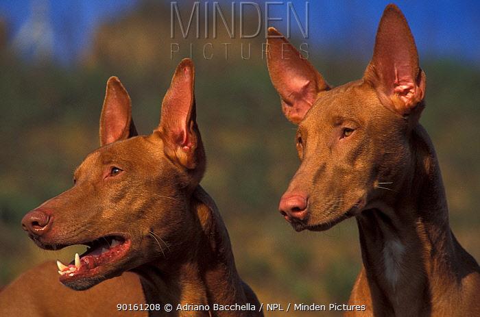 Two Domestic dogs, Pharoah Hounds  -  Adriano Bacchella/ npl