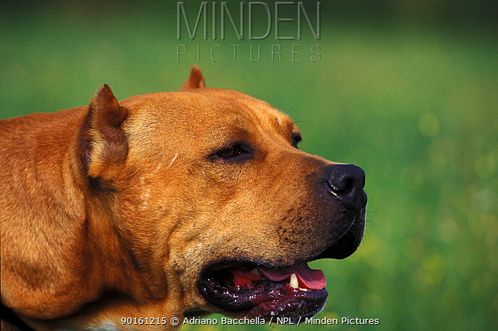 Domestic dog, Pit Bull terrier The Pit Bull Terrier is a breed banned in many countries  -  Adriano Bacchella/ npl