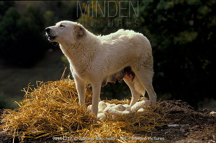 Domestic dog, Maremma Sheepdog, mother with puppies  -  Adriano Bacchella/ npl