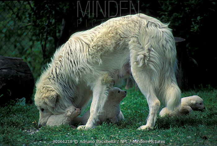 Domestic dog, Maremma Sheepdog with puppies  -  Adriano Bacchella/ npl