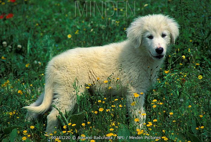 Domestic dog, Maremma Sheepdog puppy portrait  -  Adriano Bacchella/ npl