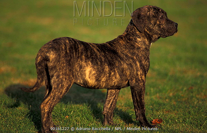Domestic dog, Pit Bull Terrier puppy profile The Pit Bull Terrier breed is banned in some countries  -  Adriano Bacchella/ npl
