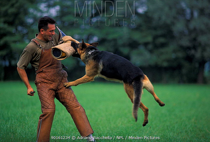 Domestic dog, Alsatian, German Shepherd biting man's arm during training  -  Adriano Bacchella/ npl