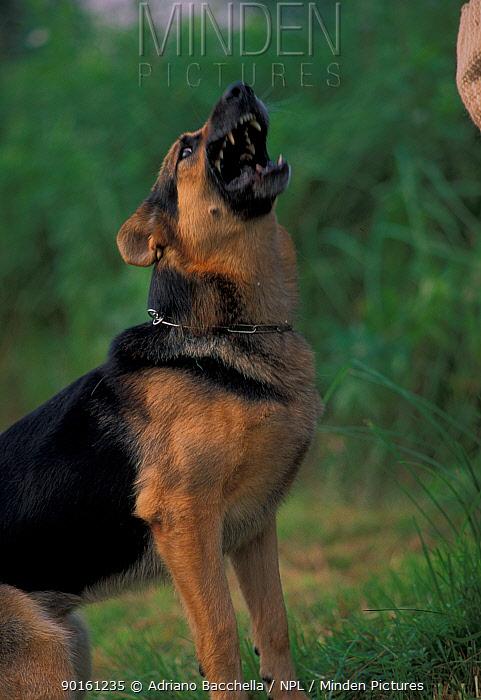 Domestic dog, Alsatian, German Shepherd barking  -  Adriano Bacchella/ npl