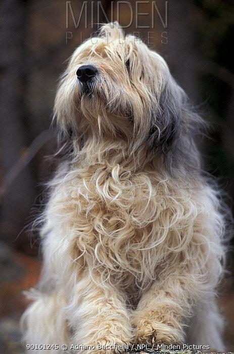 Domestic dog, Polish Lowland Sheepdog looking up  -  Adriano Bacchella/ npl