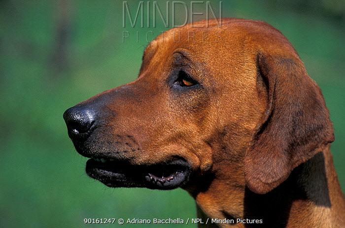 Domestic dog, Rhodesian Ridgeback looking to one side  -  Adriano Bacchella/ npl