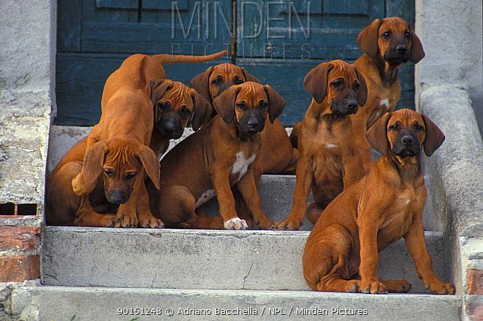 Domestic dog, six Rhodesian Ridgeback juveniles sitting on steps while one climbs down  -  Adriano Bacchella/ npl