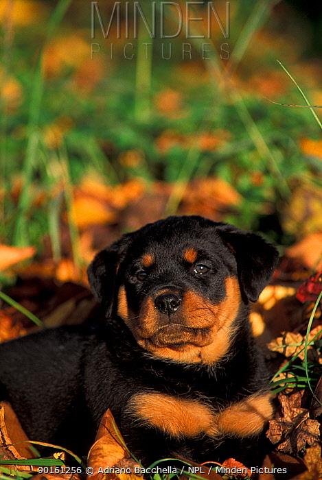 Domestic dog, Rottweiler puppy lying among leaves  -  Adriano Bacchella/ npl