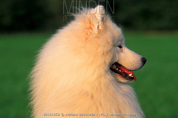Domestic dog, Samoyed profile  -  Adriano Bacchella/ npl