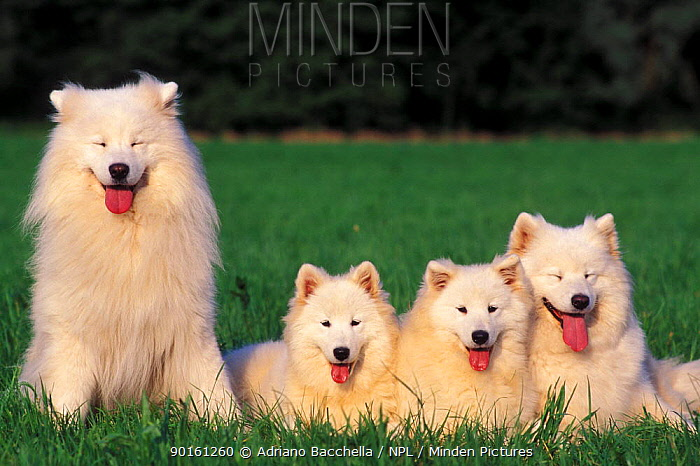 Domestic dogs, Samoyed family panting and resting on grass  -  Adriano Bacchella/ npl