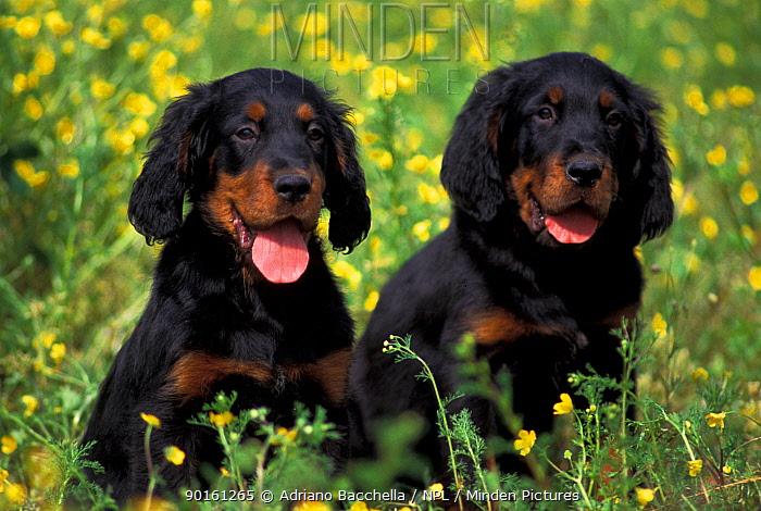 Two domestic dogs, Gordon Setter puppies sitting among wildflowers  -  Adriano Bacchella/ npl