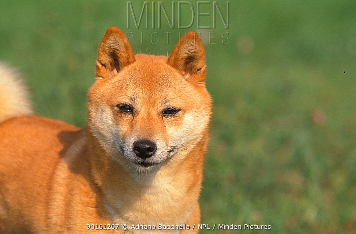 Domestic dog, Shiba Inu portrait  -  Adriano Bacchella/ npl
