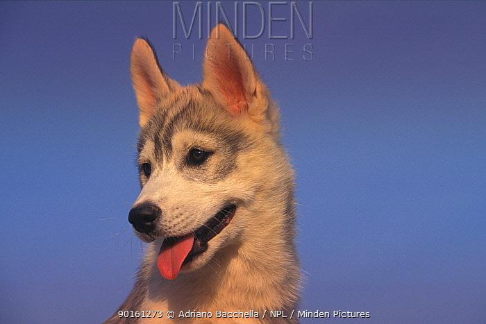 Domestic dog, juvenile Siberian Husky portrait  -  Adriano Bacchella/ npl