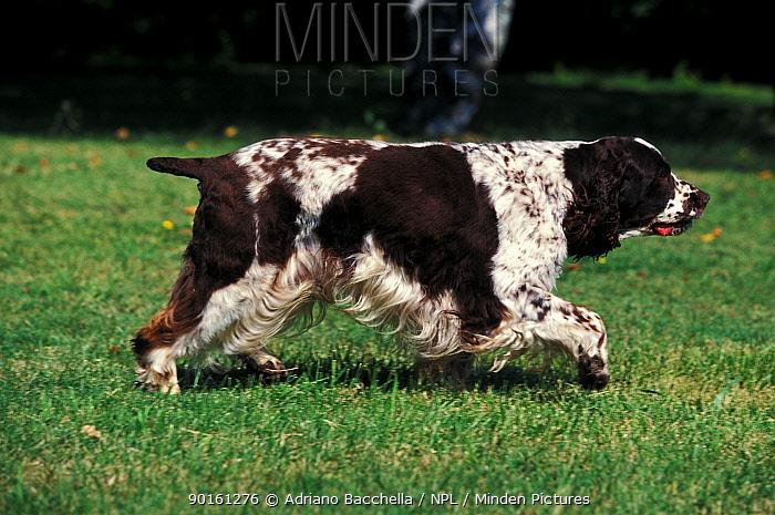 Domestic dog, English Springer Spaniel walking  -  Adriano Bacchella/ npl