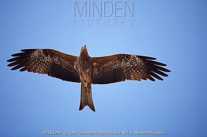 Black kite soaring (Milvus migrans) Bombay, India  -  John Downer/ npl