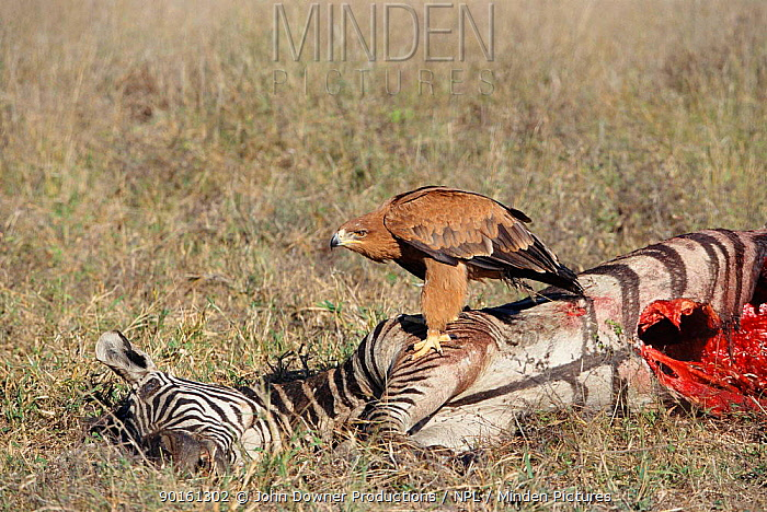 Tawny eagle (Aquila rapax) feeding on Zebra carcass, Zimbabwe  -  John Downer/ npl
