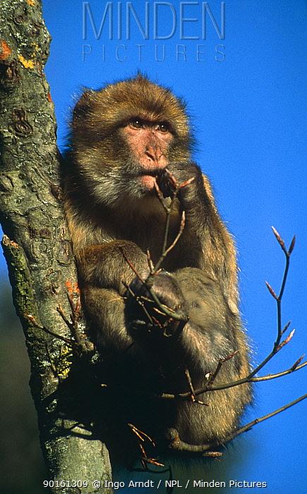 Barbary ape in tree (Macaca sylvanus) North Africa  -  Ingo Arndt/ npl